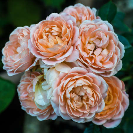 A macro shot of the orange blooms of a patio rose. Stock Photo