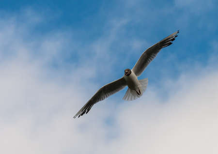 black feathered: A shot of a black headed gull flying in a cloudy blue sky.