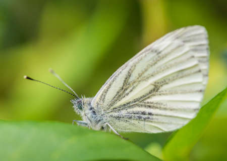 creepy crawly: A macro shot of a green-veined white butterfly sitting on a green leaf. Stock Photo
