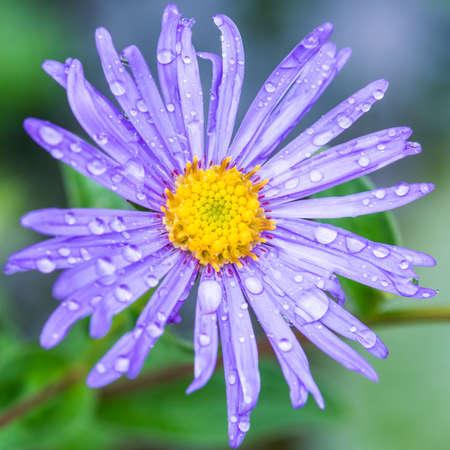 monch: A macro shot of a wet blue aster frikartii monch bloom.