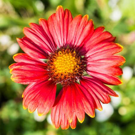 A macro shot of a red gaillardia bloom.