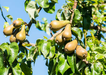 pear tree: A shot of a bunch of pears growing in a pear tree.