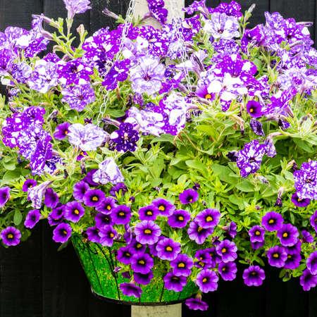 hanging basket: A shot of a hanging basket full of purple petunia and calibrachoa blooms. Stock Photo
