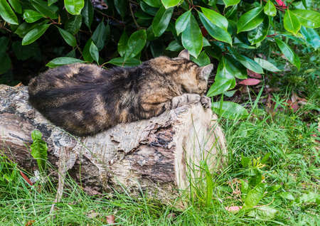 snoozing: A shot of a tabby cat sleeping on a log.
