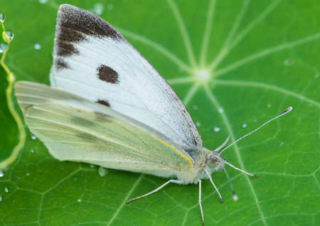 A macro shot of a large white butterfly sitting on a nasturtium leaf.