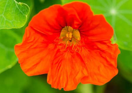 A macro shot of a bright orange nasturtium bloom.