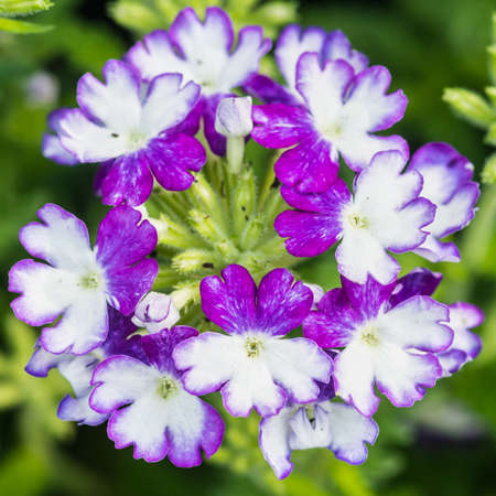 wicked: A macro shot of the blooms of a verbena wicked cool blue plant.