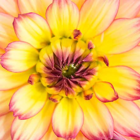 pablo: A macro shot of a dahlia gallery pablo bloom. Stock Photo