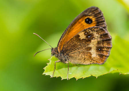 creepy crawly: A macro shot of a gatekeeper butterfly sitting on a green leaf. Stock Photo