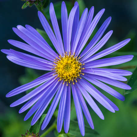 monch: A macro shot of a pale blue aster frikartii monch bloom.