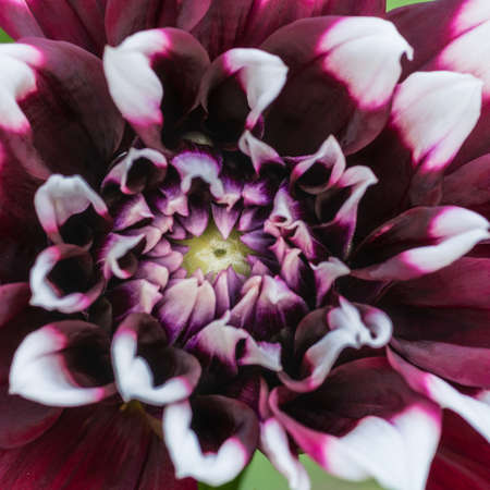anther: A macro shot of a dahlia duet bloom beginning to open. Stock Photo
