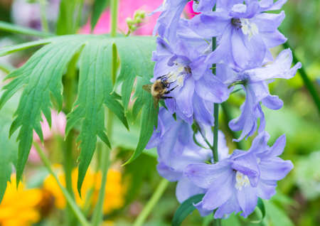 creepy crawly: A macro shot of a bee collecting pollen from a light blue delphinium plant.