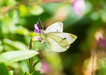 A macro shot of a small white butterfly collecting pollen from a great willowherb bloom.