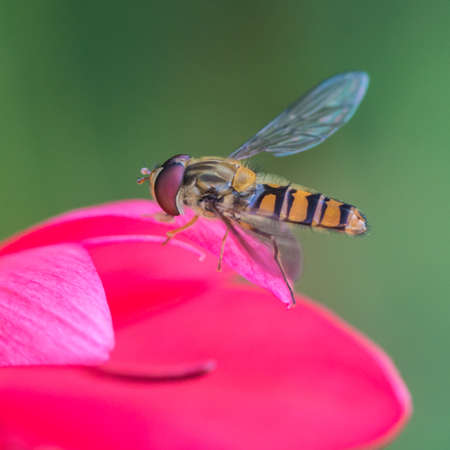 creepy crawly: A macro shot of a hoverfly resting on the petals of a pink river lily.