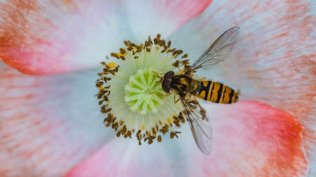 creepy crawly: A macro shot of a hoverfly collecting pollen from a pretty poppy.