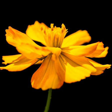 A macro shot of a yellow cosmos bright lights bloom. Stock Photo