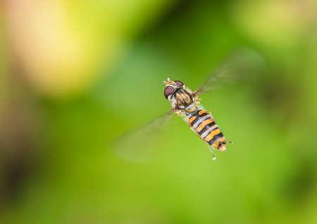 creepy crawly: A macro shot of a hovering hoverfly.