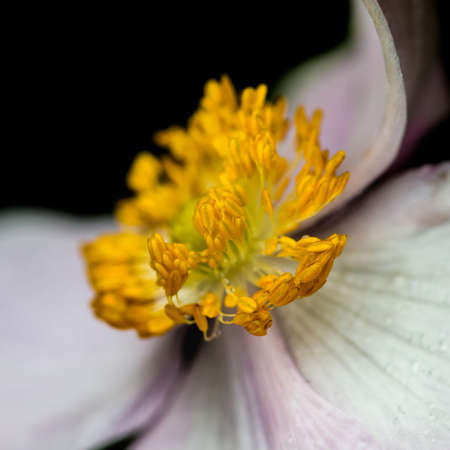 serenade: A macro shot of a pink anemone tomentosa serenade bloom.