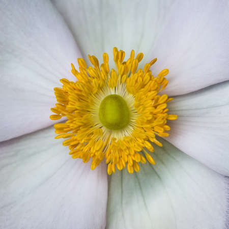 anther: A macro shot of an anemone tomentosa serenade bloom.