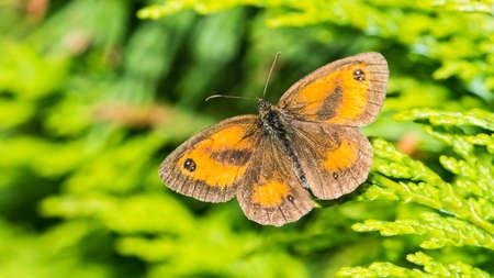 creepy crawly: A macro shot of a gatekeeper butterfly sitting in a conifer bush.