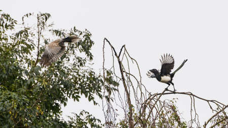 A magpie follows a collared dove from a tree.