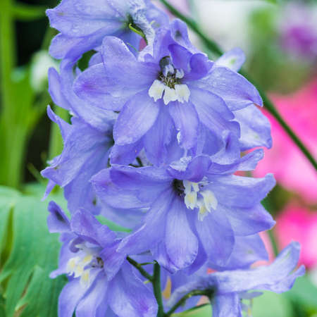 A macro shot of a light blue delphinium plant.