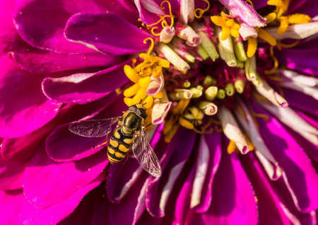 A macro shot of a hoverfly collecting pollen from a pink zinnia bloom.