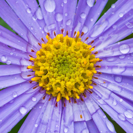 monch: A macro shot of a blue aster covered in raindrops.