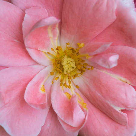 queen elizabeth: A macro shot of a pink queen elizabeth rose.