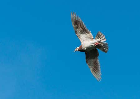 feral: A feral pigeon flies through a clear blue sky.