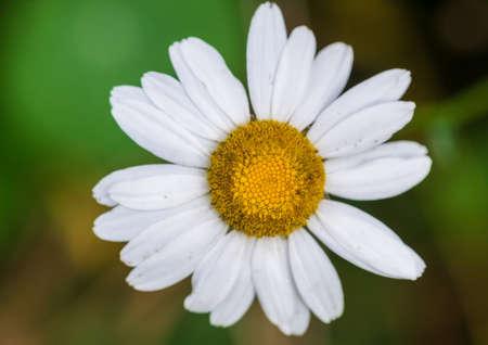 ox eye: A macro shot of an ox eye daisy bloom.