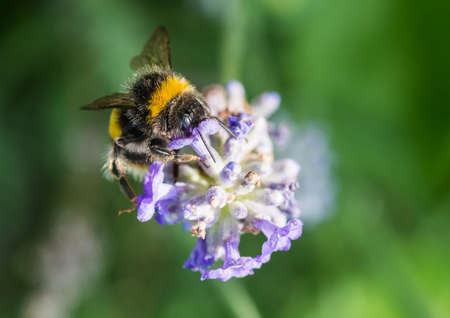 A macro shot of a bumblebee collecting pollen from a lavender bloom.