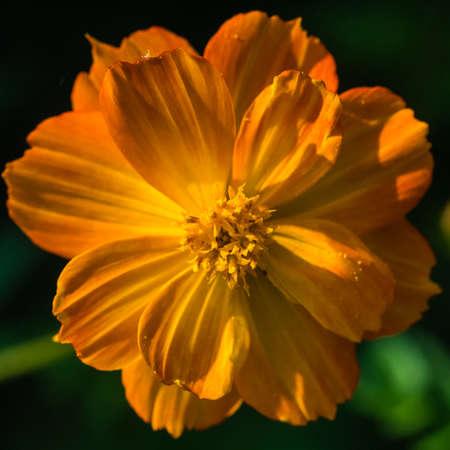 A macro shot of an orange cosmos bright lights bloom.