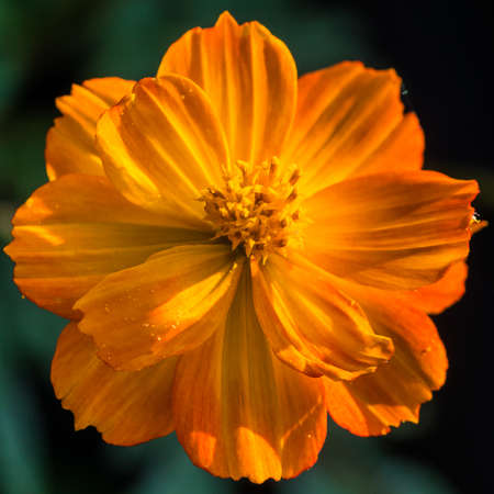 anther: A macro shot of an orange cosmos bright lights bloom.