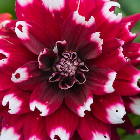 duet: A macro shot of a dahlia duet bloom. Stock Photo
