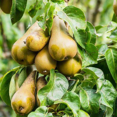 Een schot van peren groeien op de tak van een perenboom.