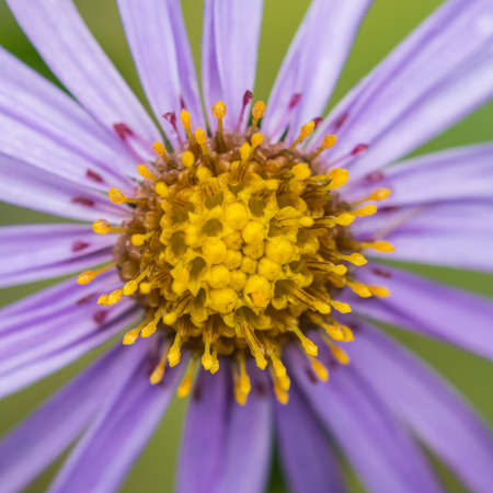 monch: A macro shot of a blue aster bloom with a yellow centre.
