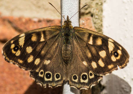 creepy crawly: A macro shot of a speckled wood resting on a cable attached to a wall. Stock Photo