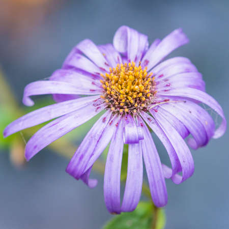 A macro shot of a blue aster bloom.