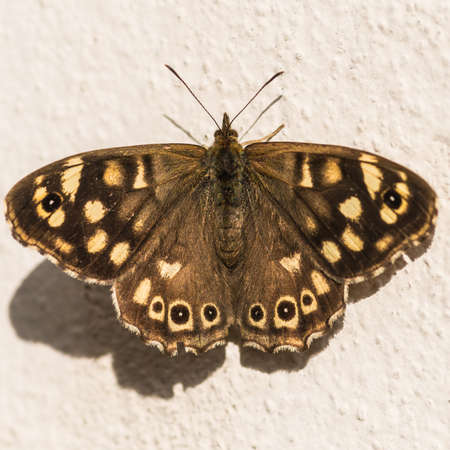 creepy crawly: A macro shot of a speckled wood butterfly sunning itself on a wall. Stock Photo
