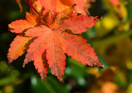 A macro shot of an autumn leaf from an acer palmatum tree.