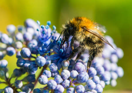 A macro shot of a bumblebee exploring the flowers of a blue lacecap hydrangea bush. Stock Photo