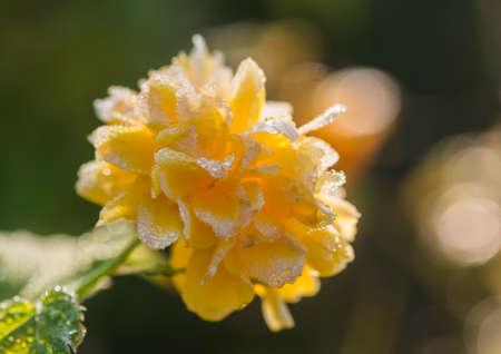 A macro shot of a kerria bush bloom covered in raindrops. Stock Photo