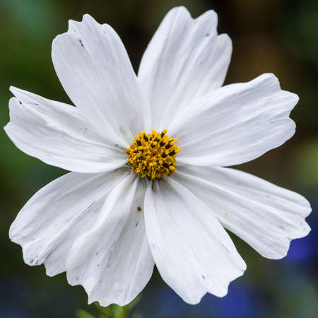 A macro shot of a white cosmos bloom.