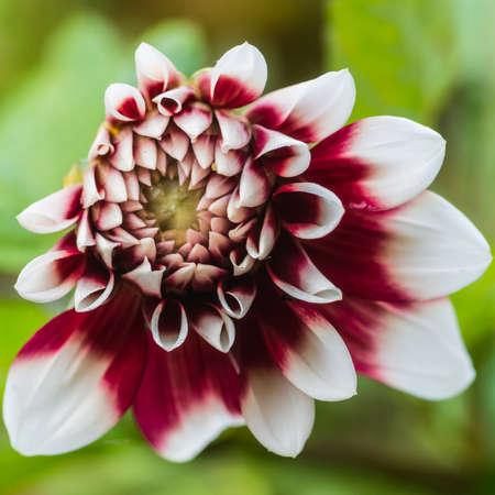 duet: A macro shot of a small dahlia duet bloom.