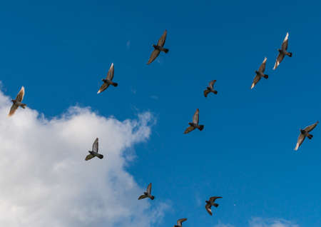 feral: A shot of a flock of flying feral pigeons. Stock Photo