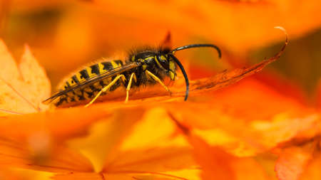 creepy crawly: A macro shot of a common wasp sat in an acer palmatum tree.