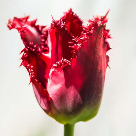A macro shot of a red tulip bloom.