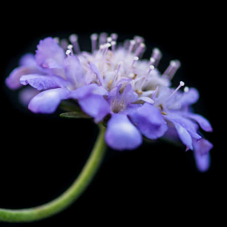 A macro shot of a blue scabious bloom against a black background.