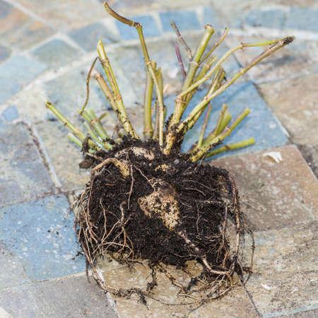 scarlet: A macro shot of a dahlia goldalia scarlet tuber.